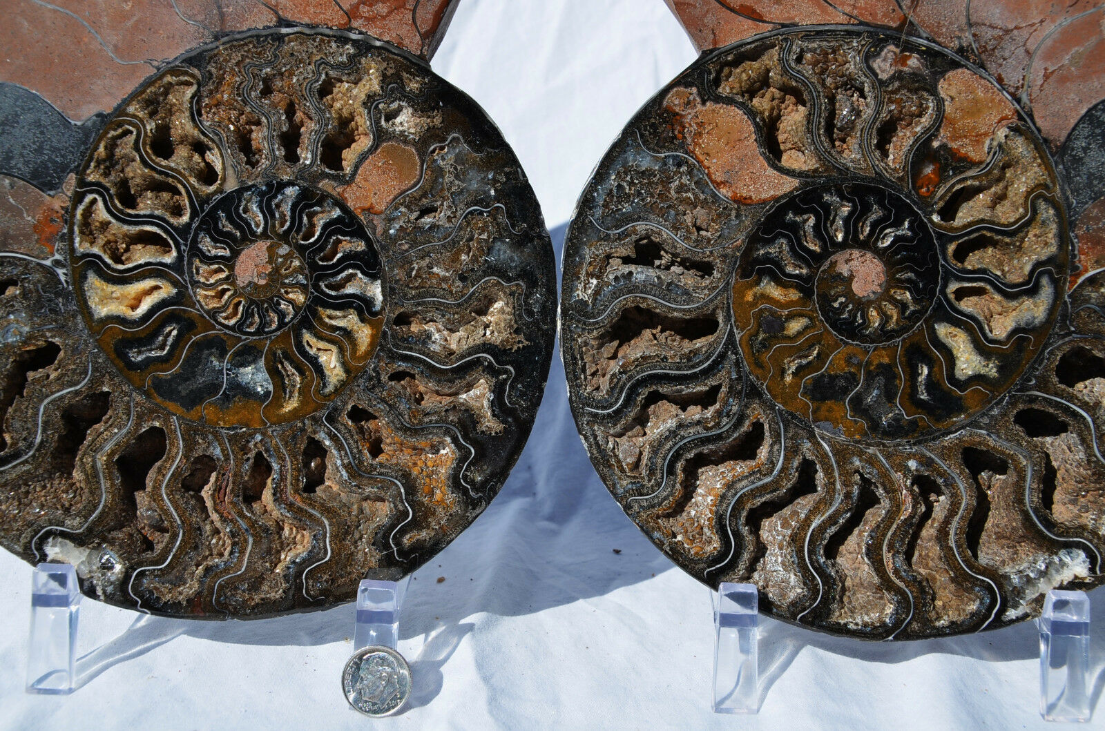 RARE 1 in 100 BLACK Ammonite Pair Deep Crystals 240mm XXXLARGE 9.5