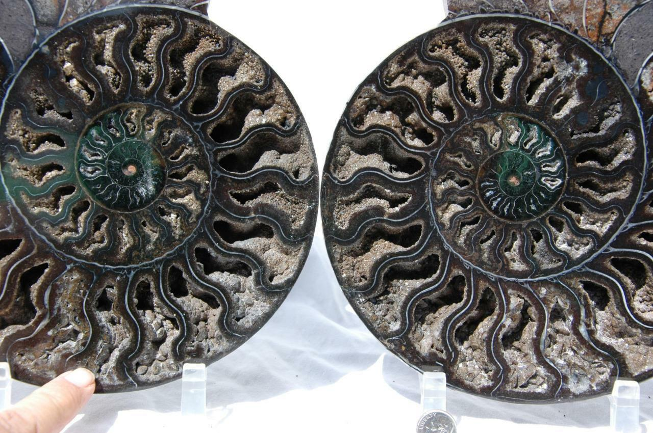 1697x RARE 1in100 BLACK Ammonite PAIR Deep Crystal 110myo FOSSIL XXXL 242mm 9.5