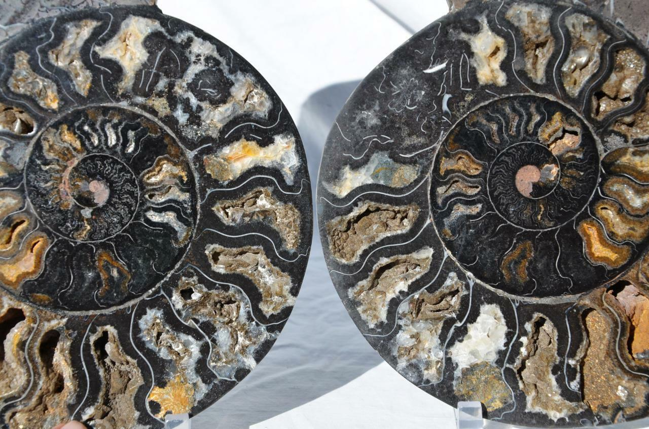9924x RARE 1in100 BLACK Ammonite PAIR Deep Crystal 110myo FOSSIL XXL 256mm 10.1