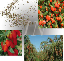 10, 250, 500, 1000+ Goji Berry NQ-1 strain Lycium Barbarum Wolfberry seeds