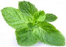 PEPPERMINT ARVENSIS Essential Oil *Buy 5 Get 2 FREE* 1ml 2ml 4ml 15ml 30ml