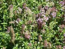 Thyme Common (1000, 2000, 4000, 8000 seeds) herb cooking sustainable