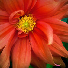 ART Home Wall Decor CORAL DAHLIA Picture #201010-0113 variety of sizes to frame