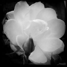Art Picture print to frame #0253 4-6-2014 Black & White Rose Wall Decor'