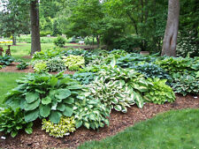 Hosta Plants (1 Gallon Size) Dozens of Varieties to Choose From!