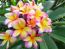 Aloha Scented Floral Fragrance Oil Candle / Soap Making / Crafting - U Pick Size