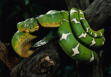 Art print POSTER Emerald Tree Boa Snake Wrapped Around Tree Branch