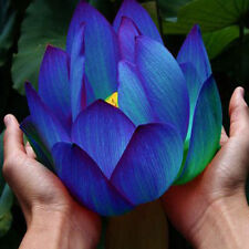 10 Flower seeds Blue Lotus Seeds Aquatic plants Water Plants Midnight Blue Lotus