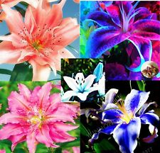 Lily Bulbs, True Lily Flower Bulbs (Not Lily Seed) Root Plants, 4Pcs