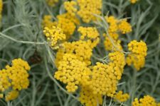Helichrysum Essential Oil 100% Pure & Natural.Uncut or diluted.5-10% off!