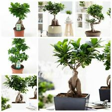 50 pcs/ bag Ficus Lyrata Bonsai Tree Potted Balcony Banyan Garden Plants Anti-Ra