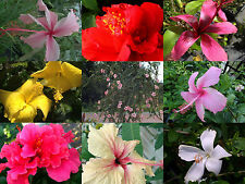 Tropical Hibiscus Patio TREE Starter Plant 8 Cultivars Pink, White, Red, Yellow