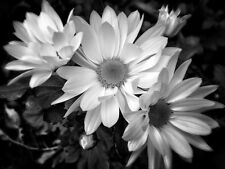 DAISY ART Picture variety of sizes to frame #201211-0004-2 Black & White