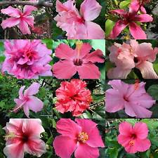 Tropical Hibiscus Plant Pretty Pink Collection Choose One (1) Single Double SZ4P