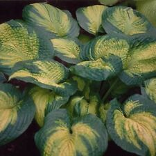 "hosta BROTHER STEFAN large disease-free healthy 3"" pot ☆1 Live Potted Plant☆"