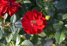25 + Red rugosa rose seeds ( Rosa rugosa rubra deep  ) Hardy, Fast, Fragrant I88