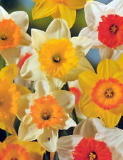 Narcissi Large Cupped Daffodil Mixture Bulb 14/16 cm Shipping Aug 2017