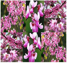 WESTERN Redbud Cercis occidentalis BRIGHT PINK Tree Seeds FALL COLORS ZONE 6 - 9