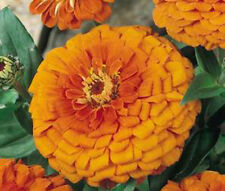 ZINNIA ORANGE KING  Zinnia Elegans Bulk Flower Seeds + Free Seeds