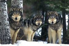 New Three Wolves in the Snow Canis Lupis – The Timberwolf Poster