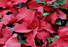 Group of Poinsettia plants photo note card, blank winter holiday greeting card