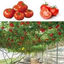 20 pcs Seeds Hot Sweet Huge Tree Tomato Fruit Vegetable Seeds New Style