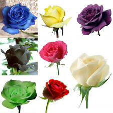 100pcs Colorful Rare Rose Seeds Fresh Rose Seed For Lover