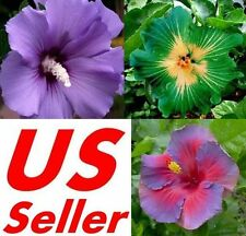 10 PCS Garden Giant Hibiscus Flower Seeds B68 B70 B72, Awesome Huge Flowers