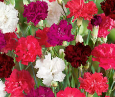 CARNATION MIXED COLORS Dianthus Caryophyllus Bulk Seeds