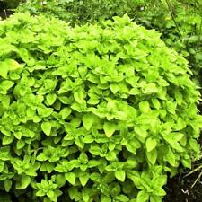 Oregano Herb Plants in 9cm and 13cm Pots