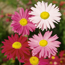 PYRETHRUM TANACETUM PAINTED LADY DAISY  FLOWER SEED APPROX.250 SEEDS PER GRAM