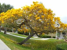 Yellow Trumpet seeds Tabebuia Aurea Fresh seeds. Shipping from USA!