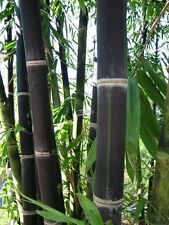 Black Bamboo seeds Phyllostachys nigra Fresh seeds. Shipping from USA!