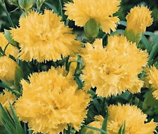CARNATION GRENADIN YELLOW Dianthus Caryophyllus Bulk Seeds