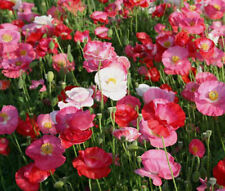 POPPY SHIRLEY DOUBLE MIXED COLORS Papaver Rhoeas Bulk Seeds