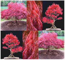 Burgundy Lace, Green Lace Leaf, Red Lace Leaf, Japanese Red Maple  -  ACER Seeds
