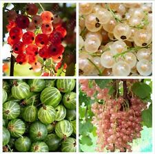 50 pcs gooseberry fruit, juicy currant seeds Organic Nutritious fruit seeds