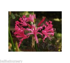 Nerine from Alba to undulata in variety bulb plant uk hardy varieties perennials