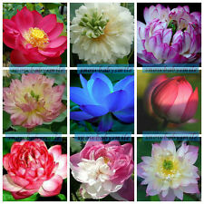 60 Variety Lotus Seeds Bowl Water Lily Pad Nelumbo Nucifera Pond Plants Flower