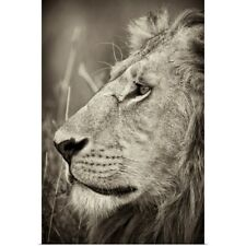 Poster Print Wall Art entitled African Lion Majesty