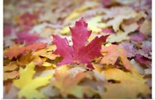 Poster Print Wall Art entitled Fallen Autumn Color Maple Tree Leaves
