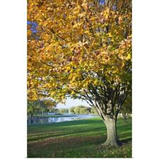 Poster Print Wall Art entitled Fallen leaves around autumn color tree, Iowa