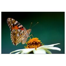 Poster Print Wall Art entitled Painted Lady Vanessa cardui with  Zinnia flower.