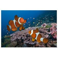 Poster Print Wall Art entitled Two Clownfish on tropical coral reef, Komodo