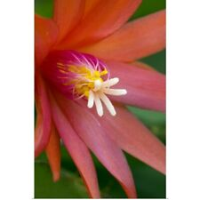 Poster Print Wall Art entitled Red Easter Cactus Flower