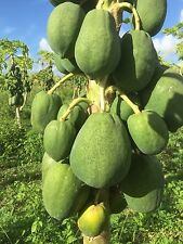 Sweet FLORIDA Strawberry Red PAPAYA SEEDS 50, 100, 250,500 and 1000 SEEDS