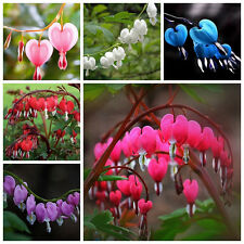 10Pcs New Perennial Herbs Dicentra Spectabilis Flower Plant Bleeding Heart Seeds