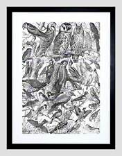 SCIENTIFIC ILLUSTRATION BIRDS OWLS BLACK WHITE BLACK FRAMED ART PRINT B12X7756