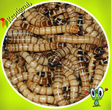 500 Large Live Superworms free shipping  by Reptigrub , Gut loaded