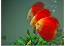 Poster Print Wall Art entitled Red Heart tropical fish
